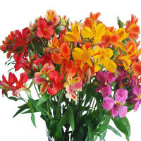 Mix Alstroemeria